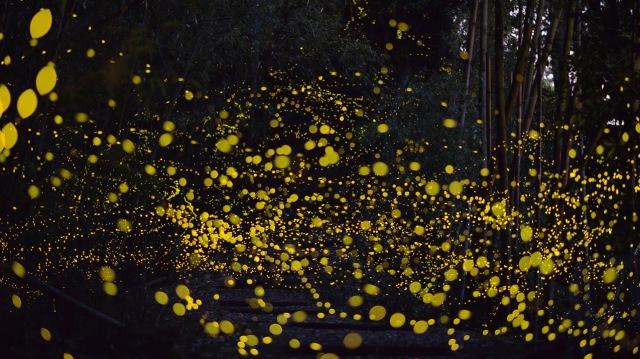 tsuneaki cyan japon luciole